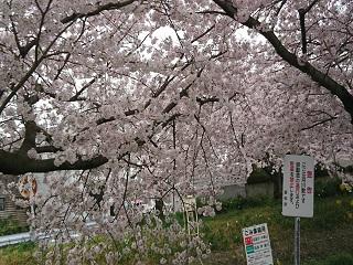 桜だよ.jpg